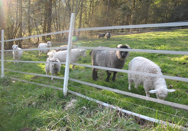 Goats Electric Fence How To Make Fence